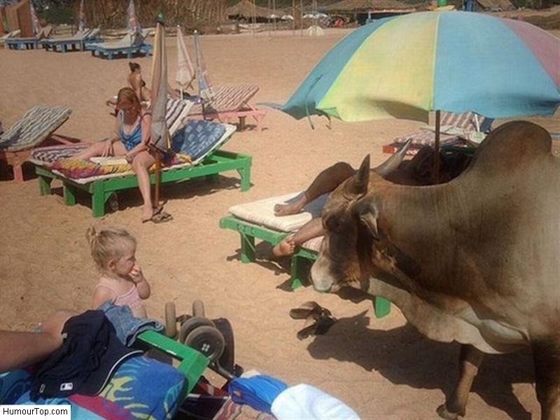 Vache_indienne_sur_la_plage_